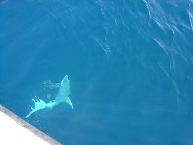 Bronze Whaler Deep
