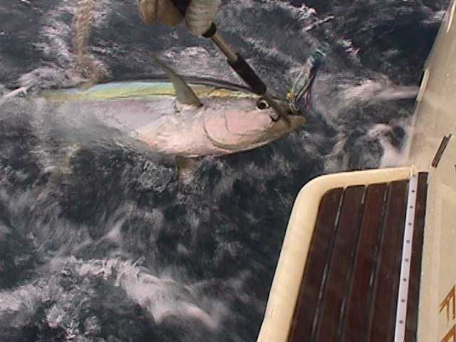 Yellowfin Abrolhos