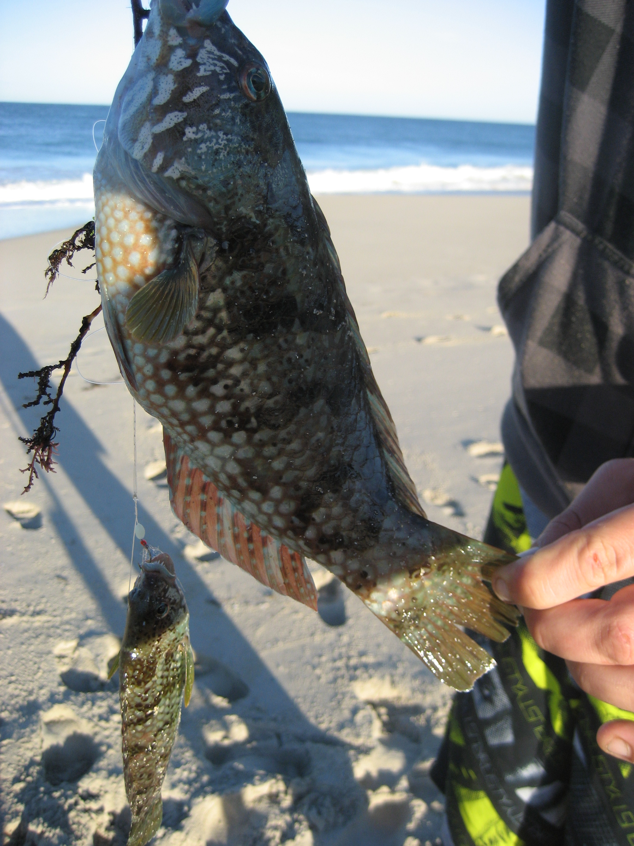 Wrasse or rock cod fishing fishing for Rock cod fish